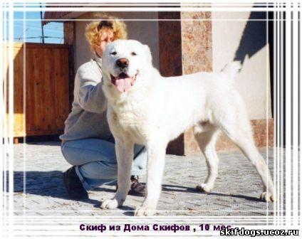 немецкая овчарка характер: отдам даром щенка овчарки.